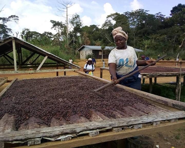 Du cacao sous ombrage pour préserver la...